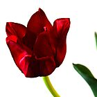 RED TULIP by Paul Quixote Alleyne