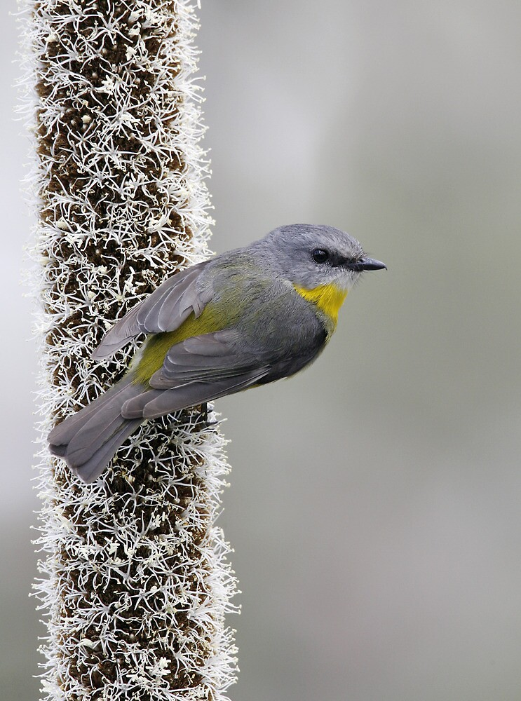 Eastern Yellow Robin by Rob Drummond