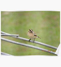 Female Pintail Whydah Poster