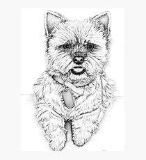 Westie - West Highland Terrier Photographic Print