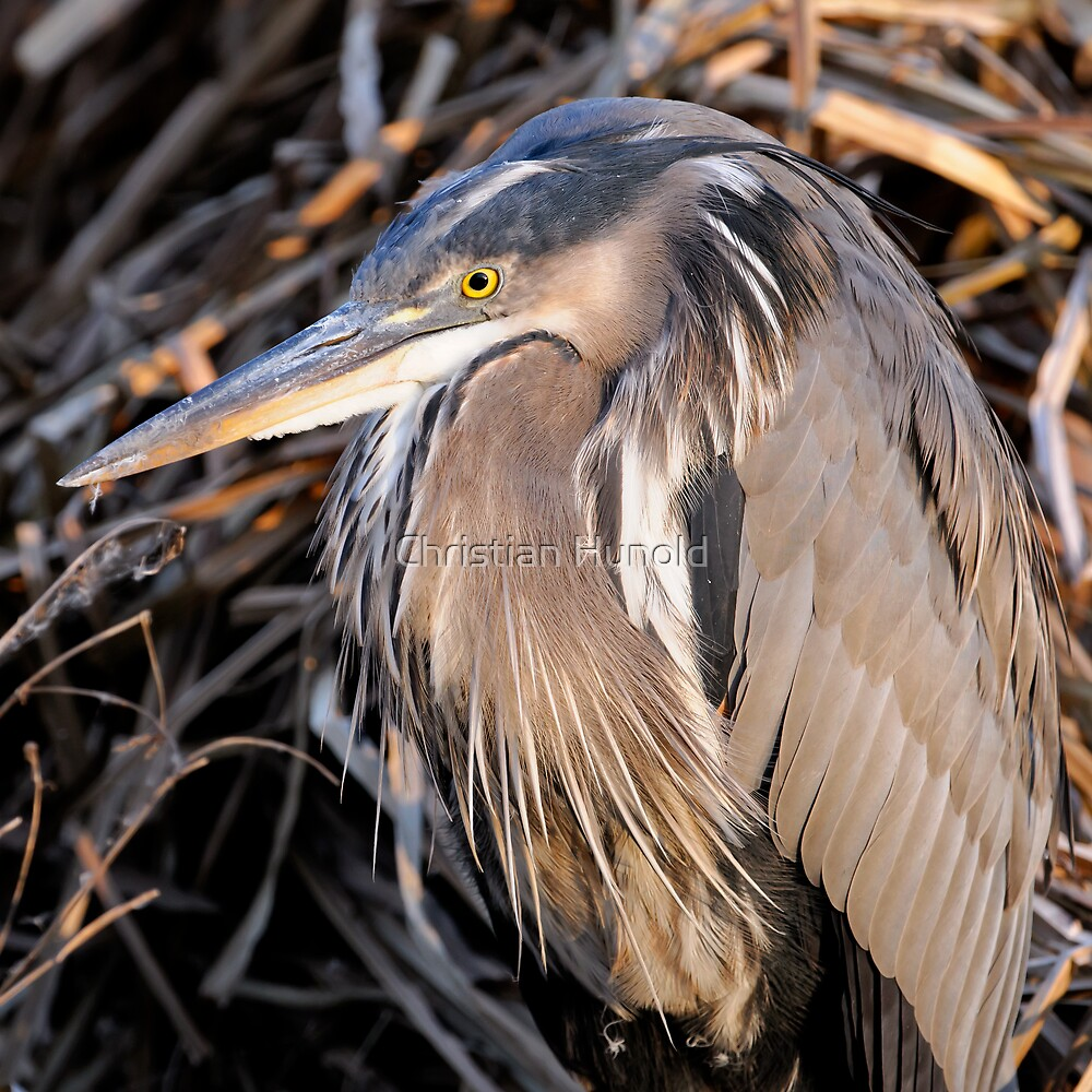great blue heron by Christian Hunold