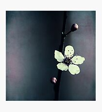 cherry blossom flower Photographic Print