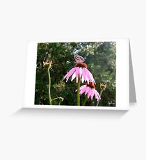 Summer Echinacea Greeting Card