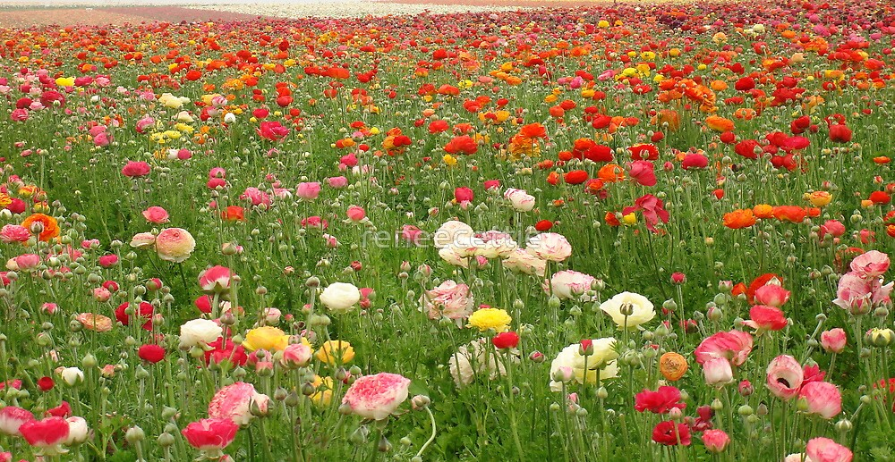 Ranunculus Field by reneecettie