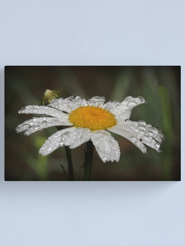 Alternate view of Daisy with dew drops Canvas Print