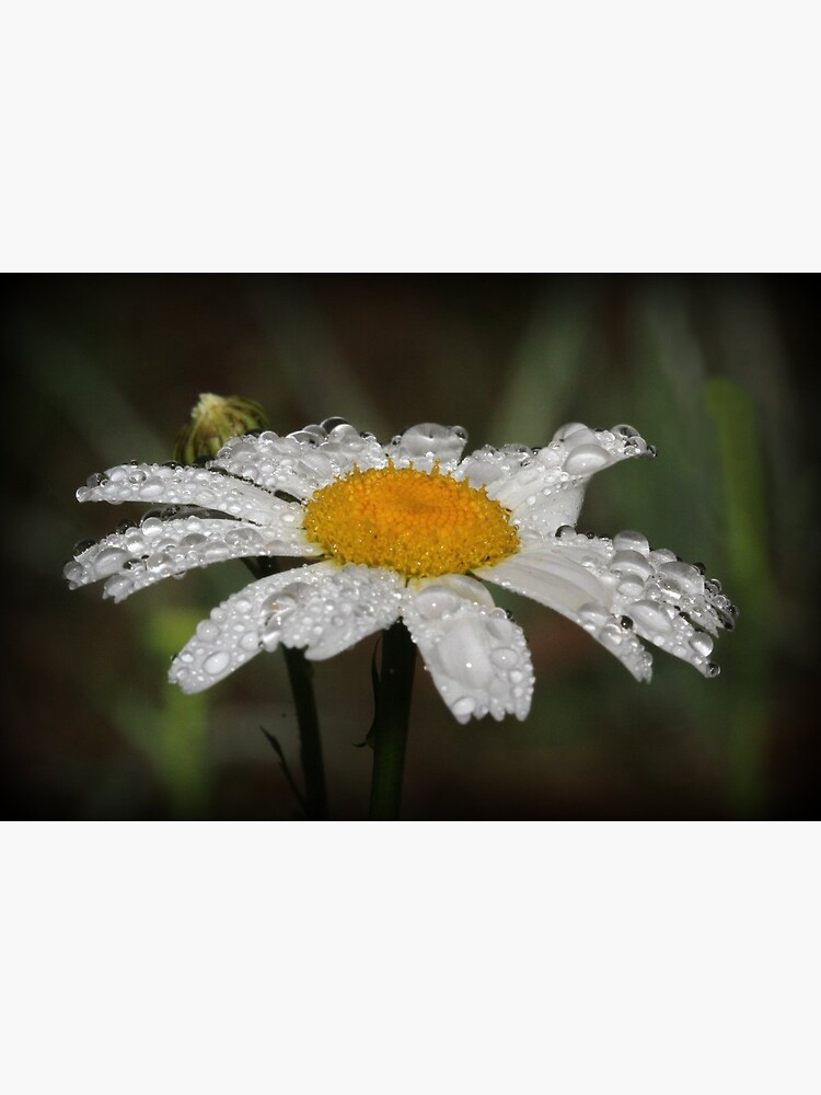 Daisy with dew drops by theoddshot