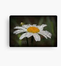Daisy with dew drops Canvas Print