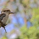 Kookaburra Watching by Trevor Farrell