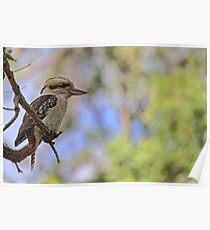 Kookaburra Watching Poster