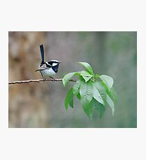 Male Superb Fairy Wren on a Peach Branch Photographic Print