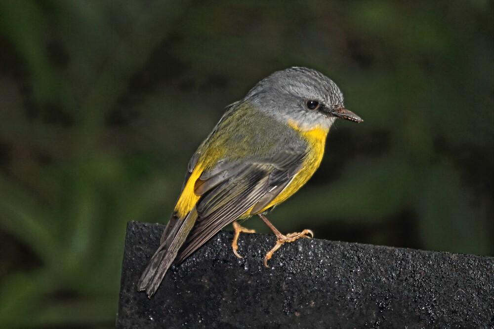 Eastern Yellow Robin by Trevor Farrell
