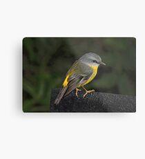 Eastern Yellow Robin Metal Print