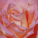 Beautiful Pink Rose by reneecettie