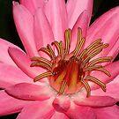 Pink Water Lily Macro by reneecettie