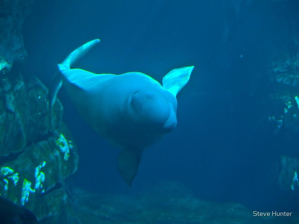 Beluga Whale by Steve Hunter