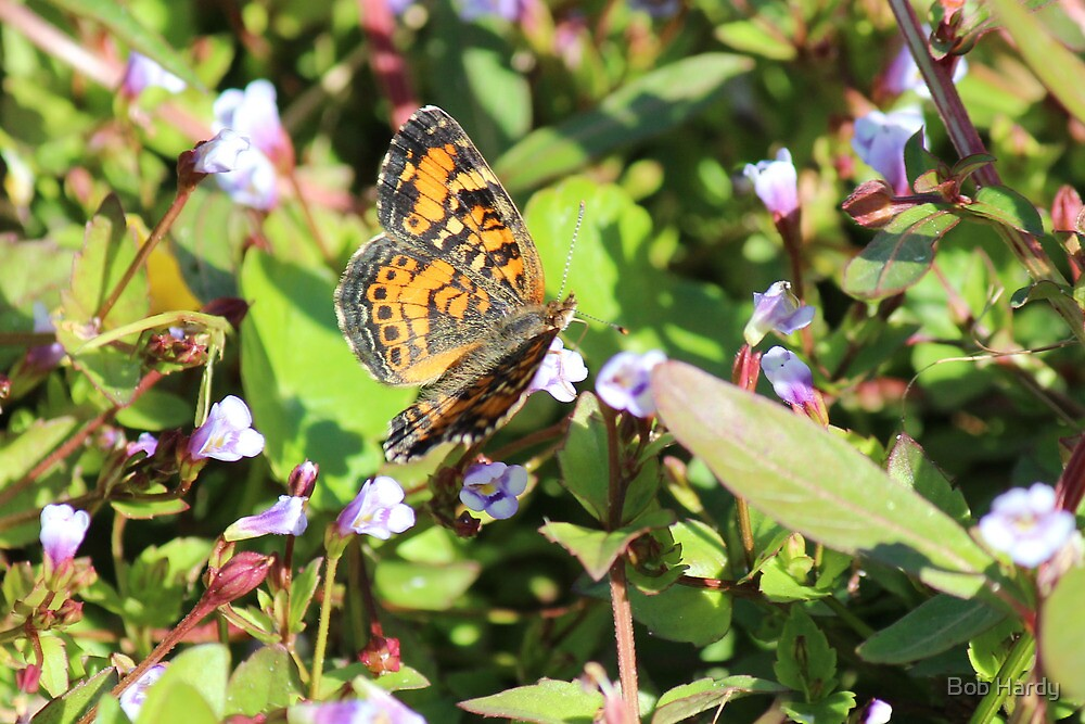 Pearl Crescent by Bob Hardy