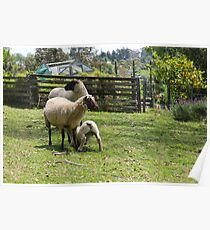 Lyness sheep Poster
