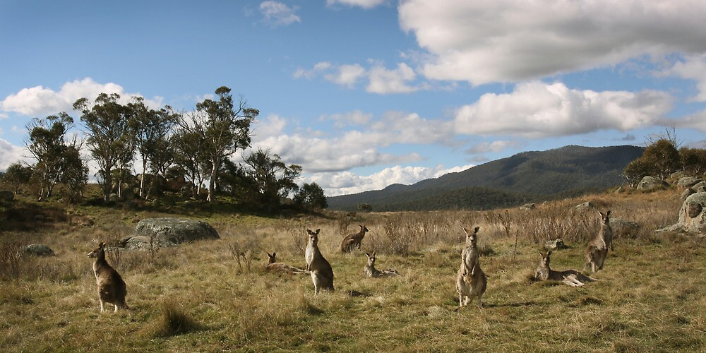 Grey Kangaroo mob - Namadgi National Park, ACT by Marty Samis