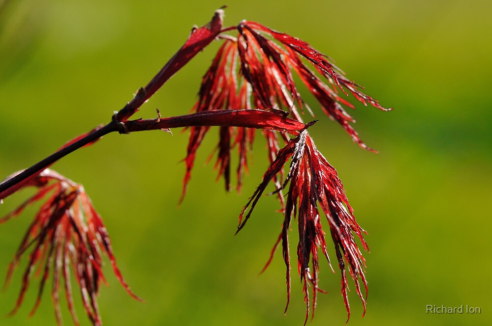 Acer Leaves by Richard Ion