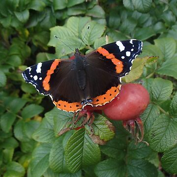 Red Admiral by TheDabber