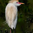 Cattle Egret profile by Daniel  Parent
