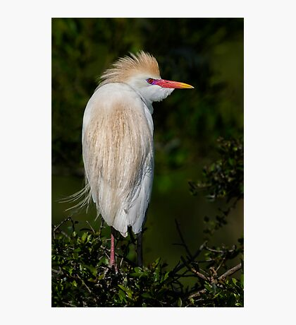 Cattle Egret profile Photographic Print