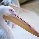 Pelican  by Lisa  Kruchak