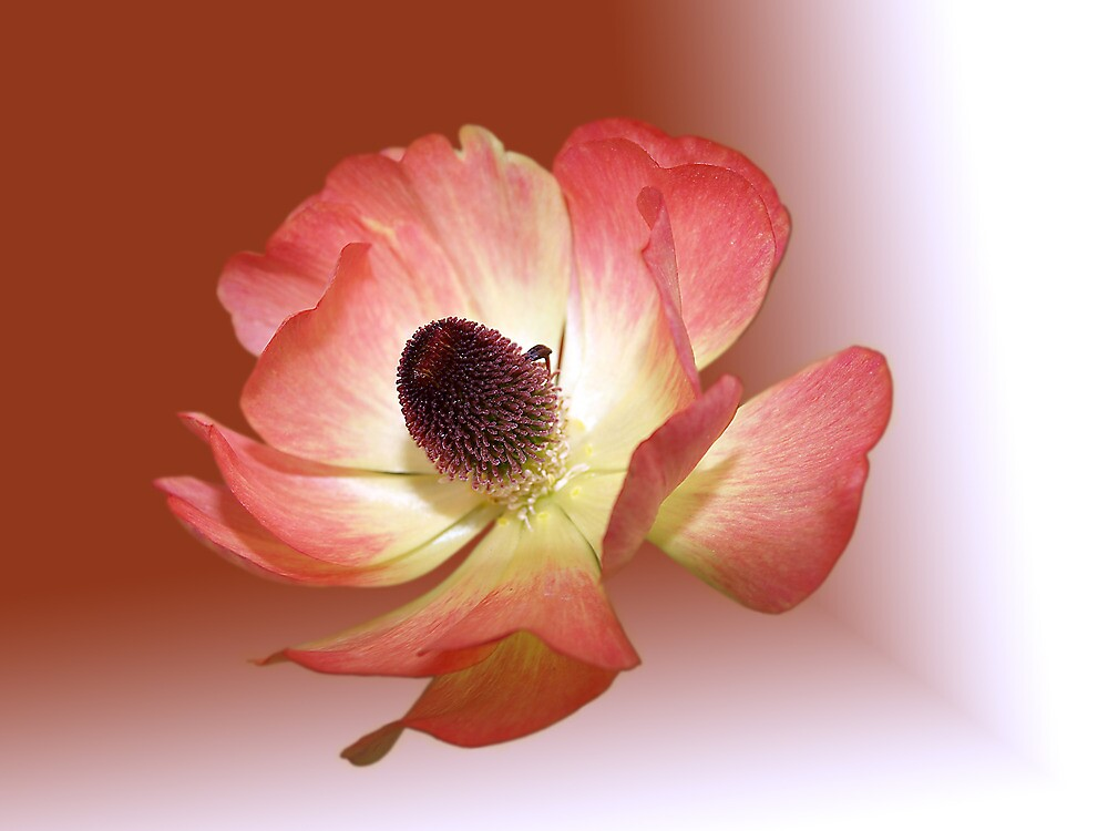Ranunculus Asiatcus by Babimg