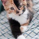 kitten by Lisa  Kruchak
