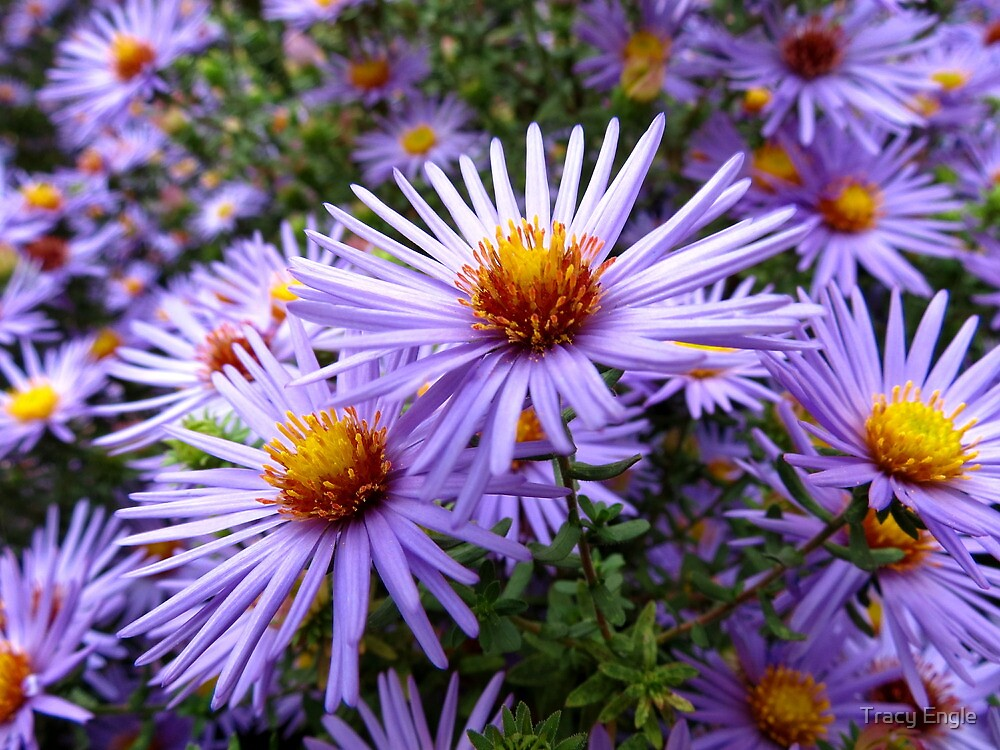 Aster by Tracy Engle