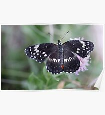 White Admiral Poster