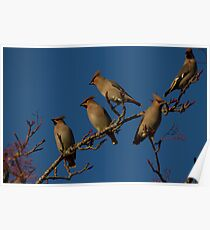 Waxwings Poster