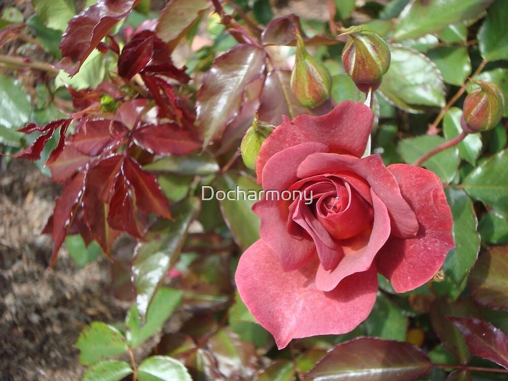 Chocolate Rose by Docharmony