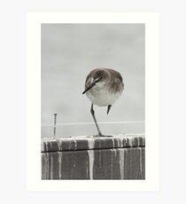Balancing Willet Art Print