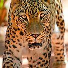 Persian leopard by Stuart Robertson Reynolds