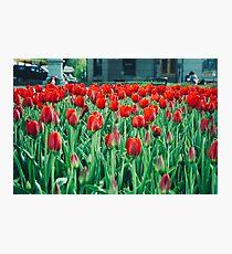 Tulips in Trondheim, Norway Photographic Print