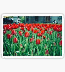 Tulips in Trondheim, Norway Sticker