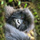 Gorilla by Sheila Smith
