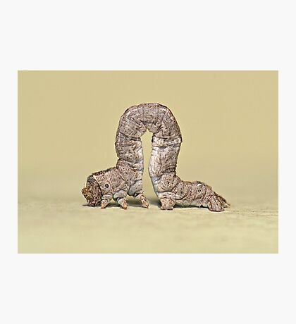 Inchworm Photographic Print