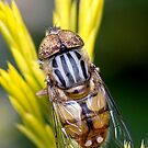 Native Drone Fly. by trevorb