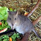 Potoroo by cjcphotography