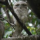 Tawny Frogmouth Chick by Trevor Farrell