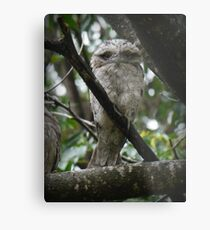 Tawny Frogmouth Chick Metal Print