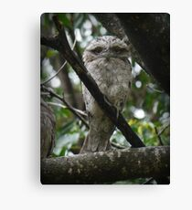 Tawny Frogmouth Chick Canvas Print