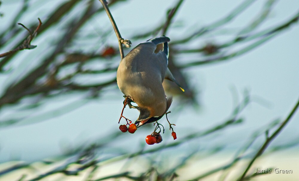 The Waxwing And The Berry #4 by Jamie  Green