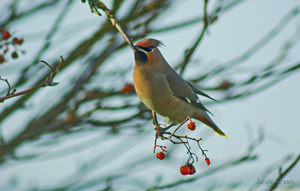 The Waxwing And The Berry #6 by Jamie  Green