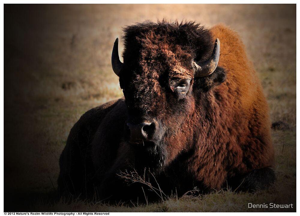 American Bison by Dennis Stewart