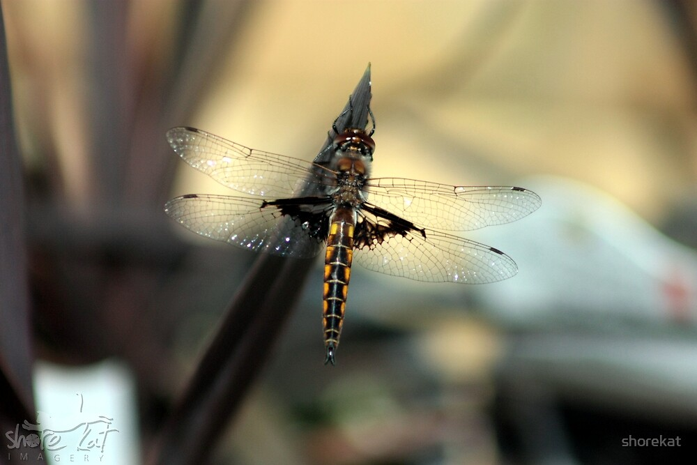 Dragon fly by shorekat