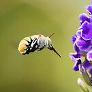 Hover Fly by robmac