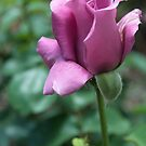 lavender tea rose by Penny Fawver